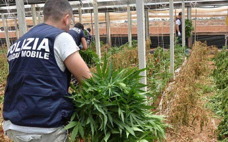 Maxi piantagione di cannabis scoperta dalla Polizia. Il responsabile aveva una pistola 7.65 nella cintura: arrestato