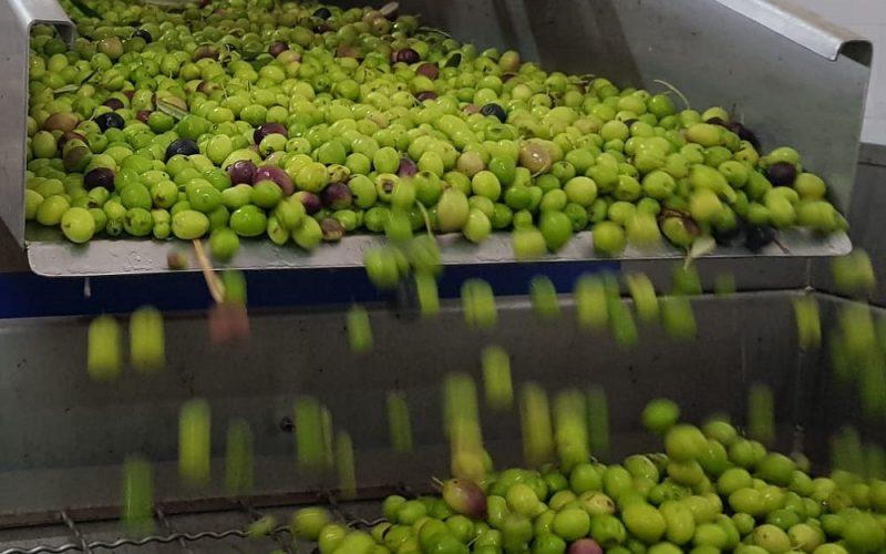Gela, terra dell'olio d'oliva di qualità. Viaggio alla scoperta di un prodotto d'eccellenza. Il re delle nostre tavole